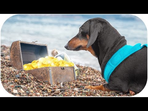 I found Pirate Treasures!!! Cute & funny dachshund dog video!