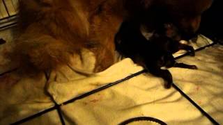 New Born Pomeranian Puppies Pt. 1