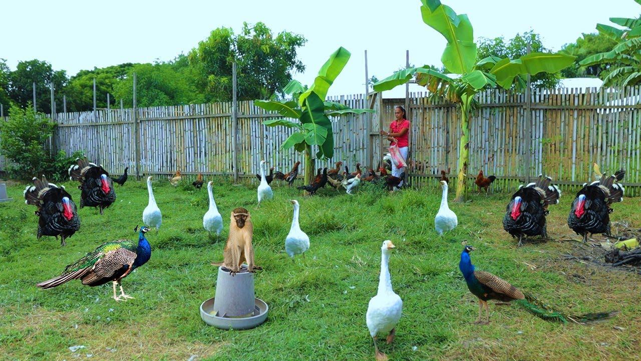 Farm's daily routine! Feeding all farm animals, Parakeet aviary update, Newly build Azolla tank