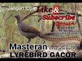 Kunci Juara Burung Anda Isian Lyrebird  Mp3 - Mp4 Download