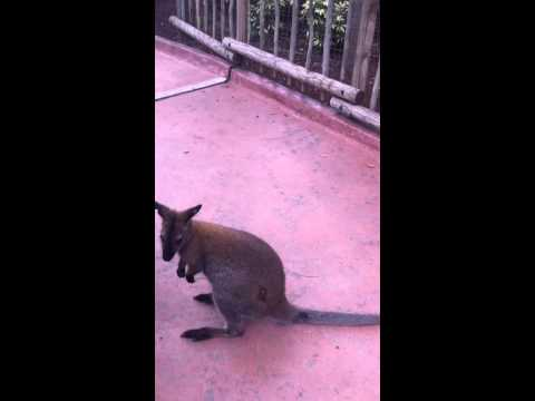 Wallaby escapes the Outback! thumbnail