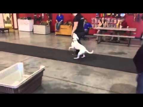Watch this prancing Pitbull!