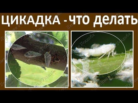 Белая вата на растениях Цикадка белая меры борьбы