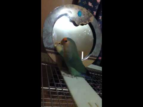 Lovebirds....mirror vs treat