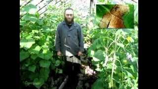 видео Почему вянут огурцы  Глиокладин от корневых гнилей