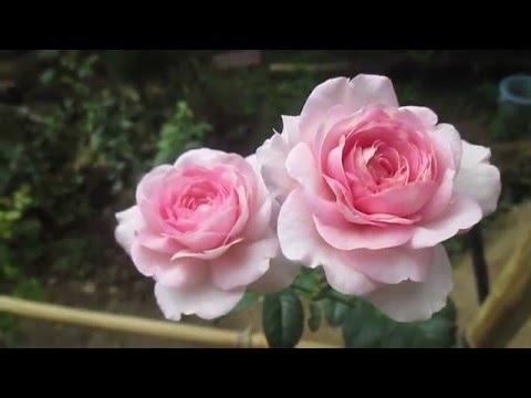 Hoa hồng ngoại Mon Coeur Rose - YouTube
