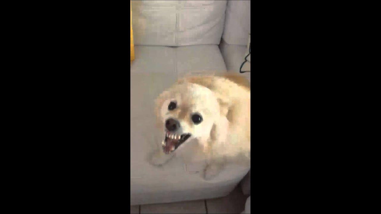 Very Angry Pomeranian Youtube