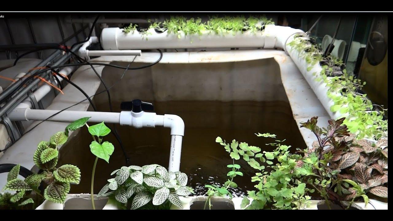 indoor tilapia aquaponics baby fry update 4 weeks old youtube