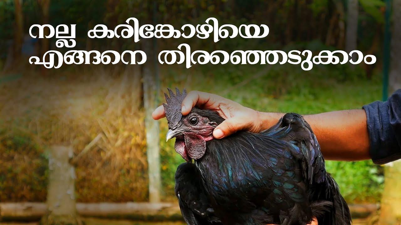 കരിങ്കോഴിയെ വാങ്ങുമ്പോള് ശ്രദ്ധിക്കേണ്ടത് | Kadaknath Chicken | Kali Masi | Indian breed