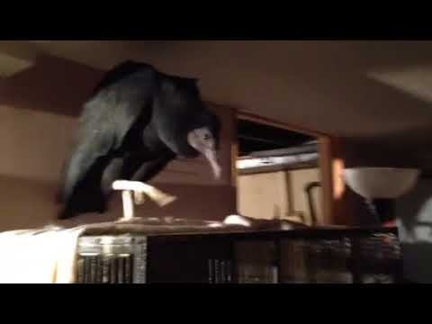 Virgil the Vulture is Head of the House