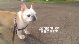フレブルの老犬タロウ12歳の時です。 2016.06.07 Facebook:...