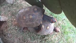 Tartaruga fazendo sexo