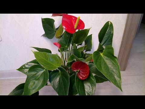 Антуриум Почему не цветет Как заставить цвести