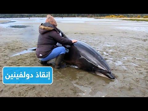 لحظة انقاذ اثنين من الدلافين وإعادتهم إلى البحر  - نشر قبل 2 ساعة