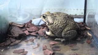 Жаба ага ядовитая   Охота