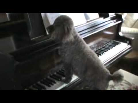 Poodle Chloe plays piano