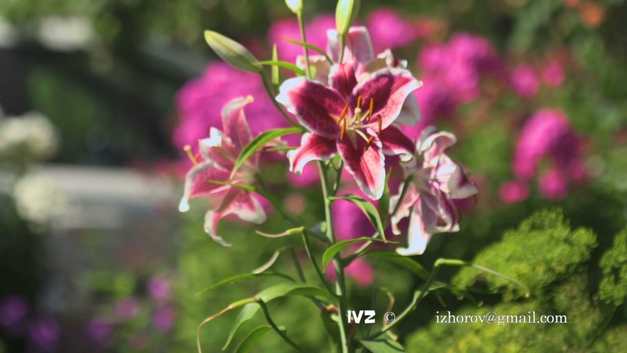 Flowers pink lilies swaying in the wind youtube flowers pink lilies swaying in the wind izmirmasajfo