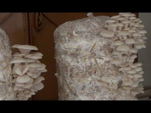 Mushroom Cultivation (With English Subtitle)