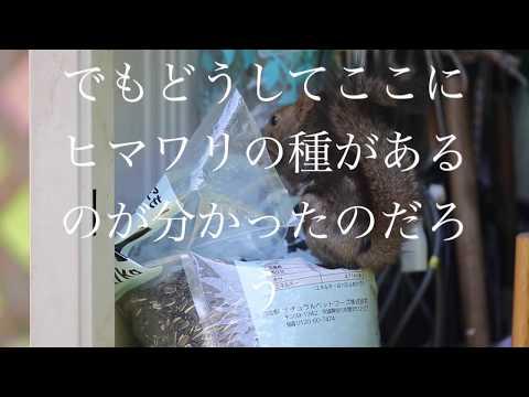 ヒマワリの種とエゾリス