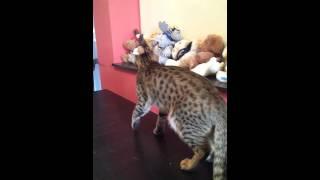 Hunter Amagitsune*RU кот Оцикет
