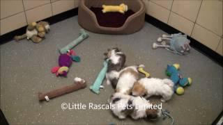 Little Rascals Uk Breeders New Litter Of Malshi Puppies