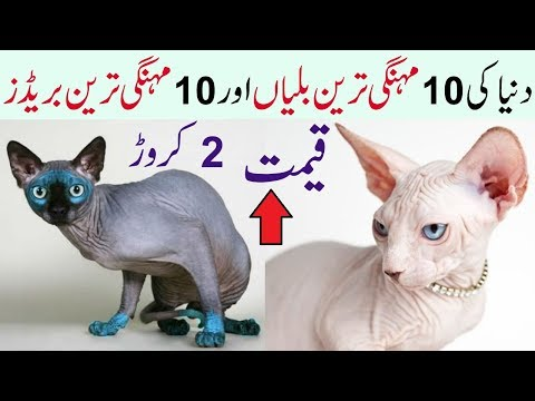10 Most Expensive Cat Breeds Expensive Cats In World
