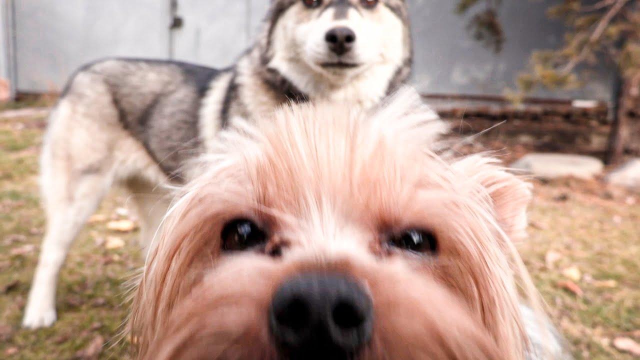 СПАСИТЕ! ОПАСНЫЕ ИГРЫ ХАСКИ! (Маленький Зевс) Говорящая собака | Little Zeus