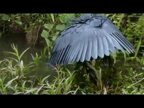 black heron swartreier youtube