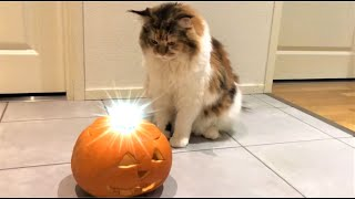 Maine Coon Cat: Funny Moments