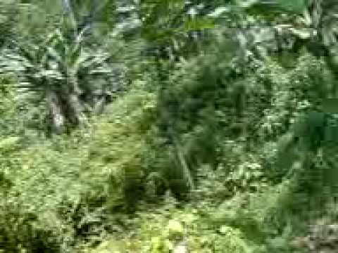 Baixar Forestacion Fundo Rosario en Moroto, Cusco