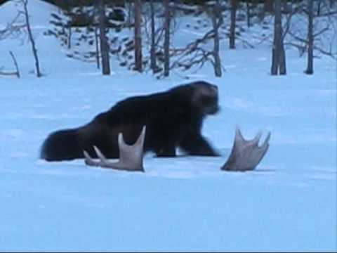 Wolverine In The Wild