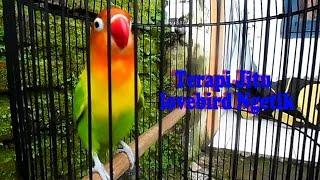 Lovebird ngetik ngekek panjang untuk memancing lovebird malas