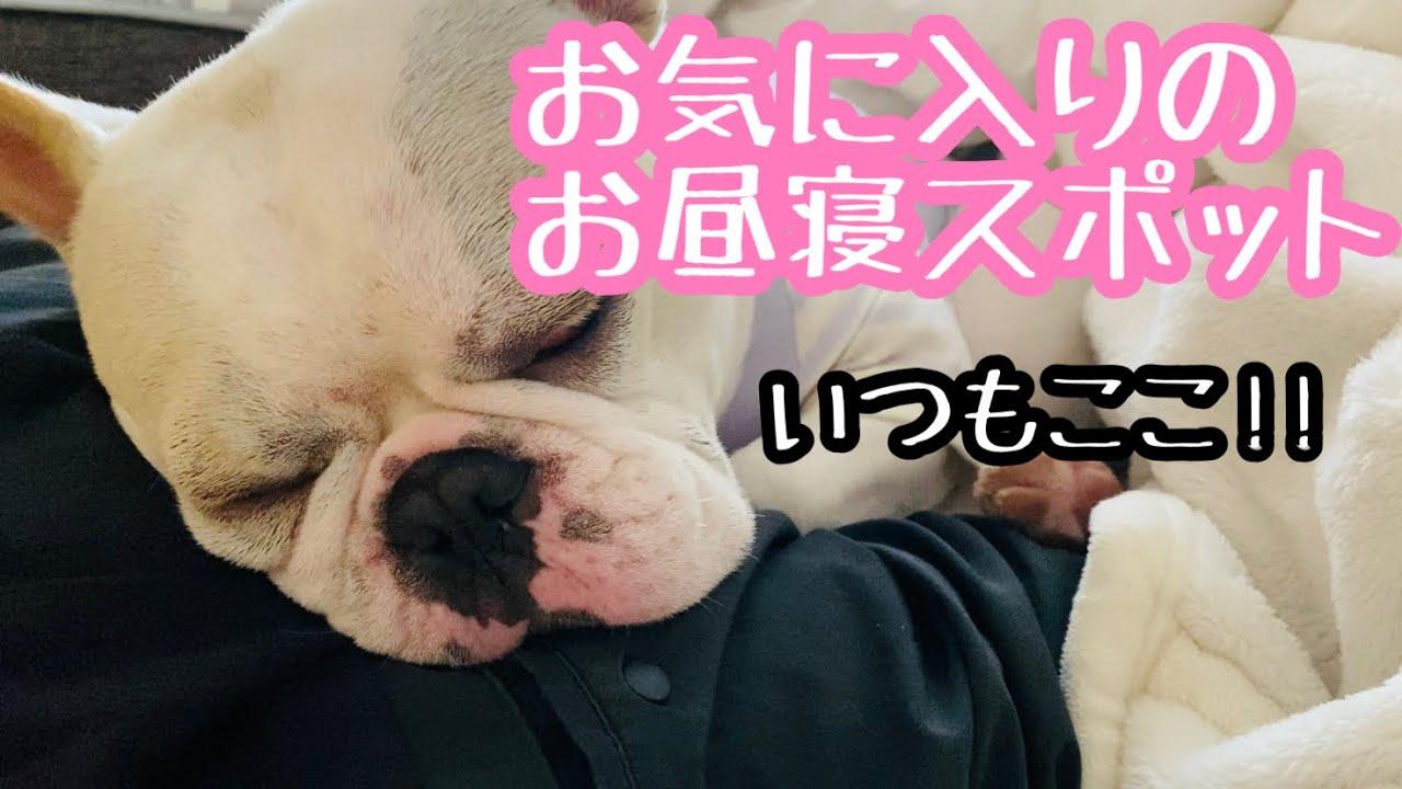 【甘えん坊犬あるある?!】愛犬がお昼寝する場所【フレブルフレンチブルドッグ】