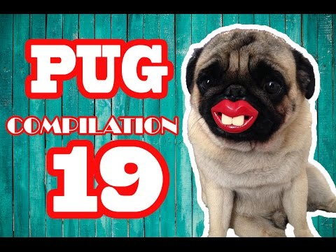 Pug Compilation 19 - Funny Dogs but only Pug Videos | Instapugs