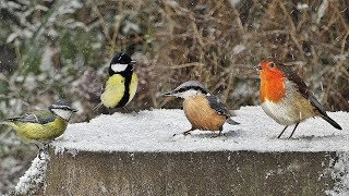 Videos for Cats to Watch - Birds on Snow Day