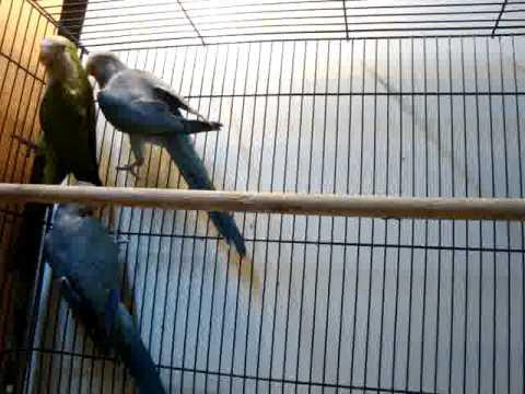 Попугаи монахи или калита (Myiopsitta monachus)