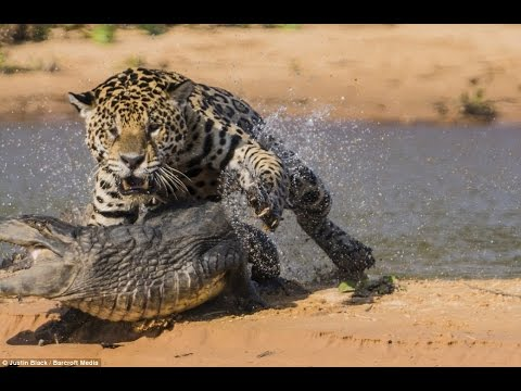 Jaguar шигдээс, аллага Crocodile || Jaguar Attacks And Kills Crocodile
