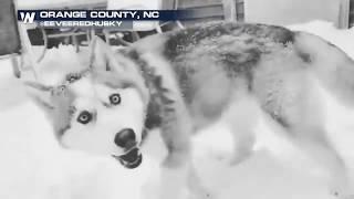 Husky Dog Loves North Carolina Snow