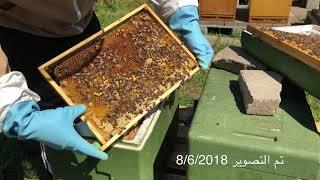 عالم النحل ,تقسيم الخلايا الجزء /2/
