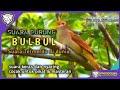 Suara Merdu Burung Bulbul Di Alam Liar Sangat Cocok Untuk Pikat Dan Masteran  Mp3 - Mp4 Download