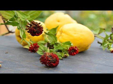 Как сохранить плоды айвы на зиму