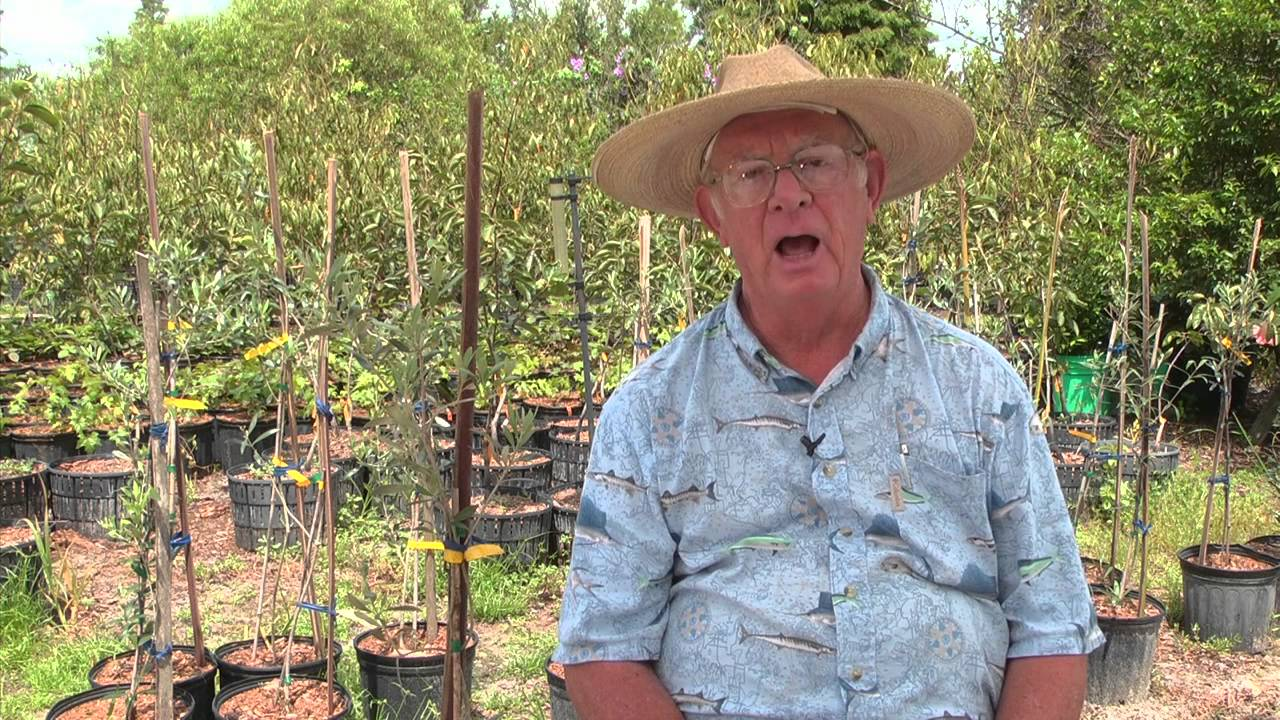 How To Grow Olive Trees Youtube