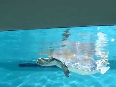 Green Sea Turtle, Chelonia Mydas (Description, Biological Parameters)