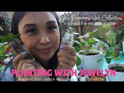 Planting with Jewelyn: Pilea Peperomioides collection + propagation | January 2018 | ILOVEJEWELYN