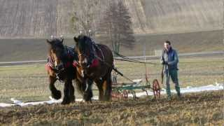 Traction animale. Arbeitspferde. Horse Farming avec des chevaux ardennais sur la ferme bio.
