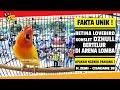 Fakta Unik Betina Lovebird Konslet Dzhull Bertelur Saat Di Lapangan Apakah Masih Ngekek Panjang  Mp3 - Mp4 Download
