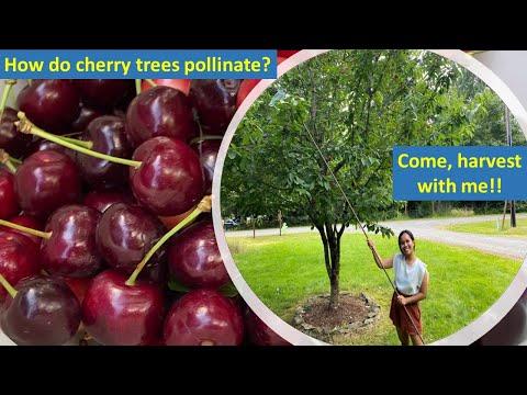 How do Cherry Trees Pollinate?   Harvesting Bing & Rainier Cherries   1st Cherry Picking in WA State