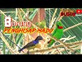 Burung Serindit Burung Penghisap Madu Kelapa  Mp3 - Mp4 Download