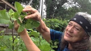 Burdock with Susun Weed