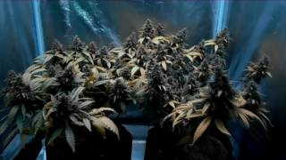 db003 s girl scout cookies auto fast buds comp coco mars ii 700 video update 9 final video